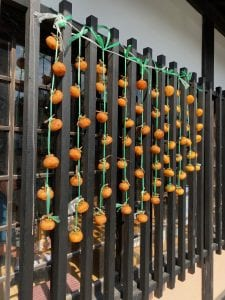persimmons are harvested and hung outside in the crisp fall air to dry